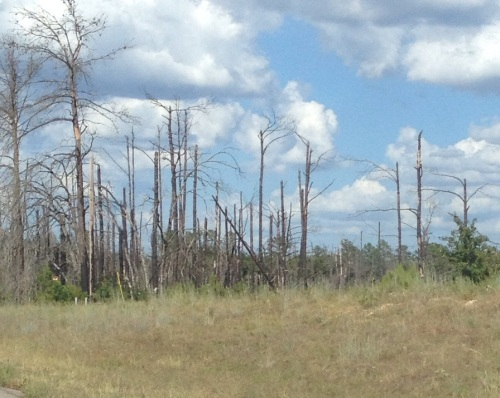 Scorched trees near Bastrop, TX affected by drought-related wildfires of 2011 with dying grass affected by current drought.